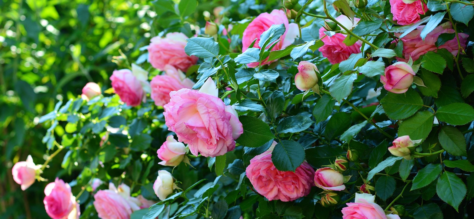 Rose bushes can be affordable landscaping